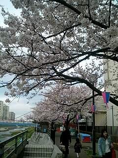 かしおがわの桜2
