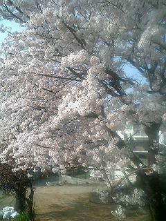 家の前の桜