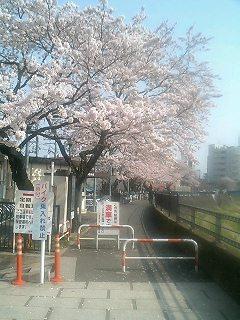 かしおがわの桜3