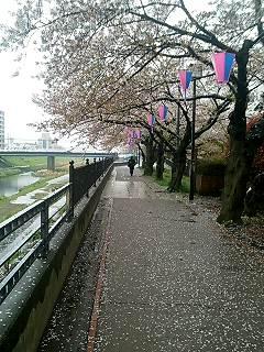 かしおがわの桜