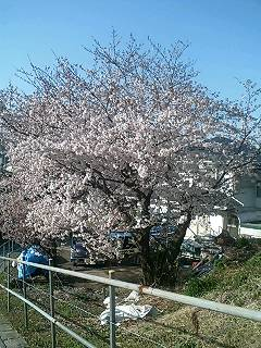 家の近所の桜