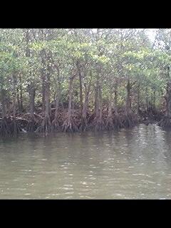 西表島 仲間川 マングローブ
